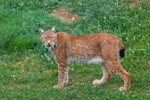 Lynx pardinus — Stock Photo