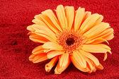 Daisy na červený písek — Stock fotografie