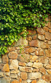 Ivy climbing the old wall — 图库照片