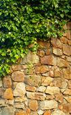 常春藤攀爬在老墙上 — 图库照片