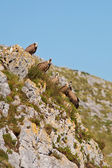 Vultures on the rocks — Stock Photo