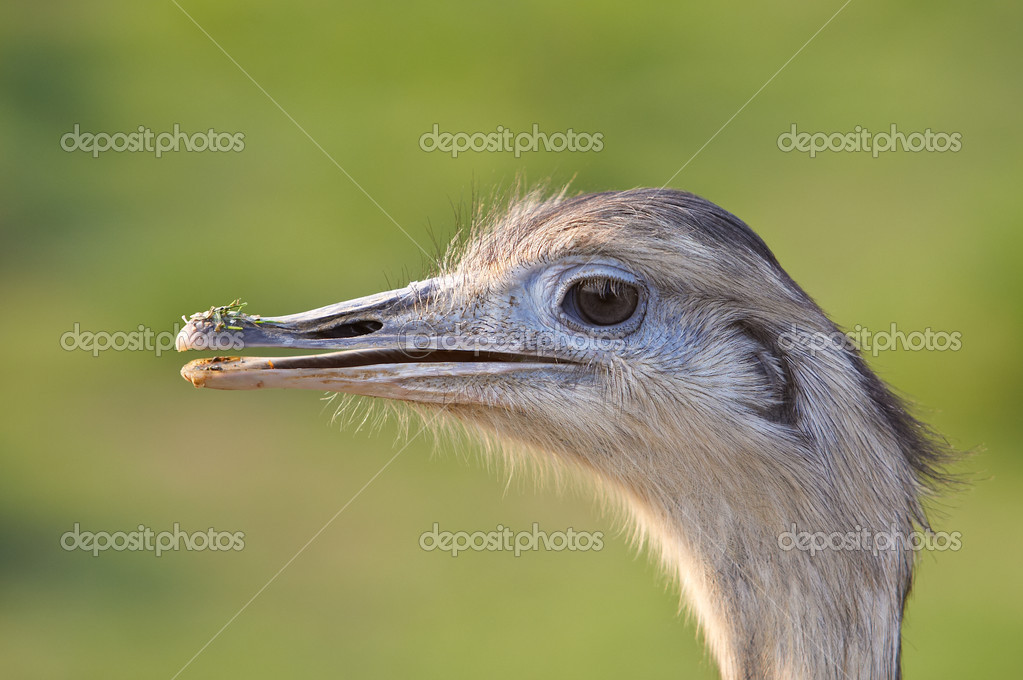 Ostrich portrait in the national park. Eyes on focus and background blurred  Stock Photo #6343123