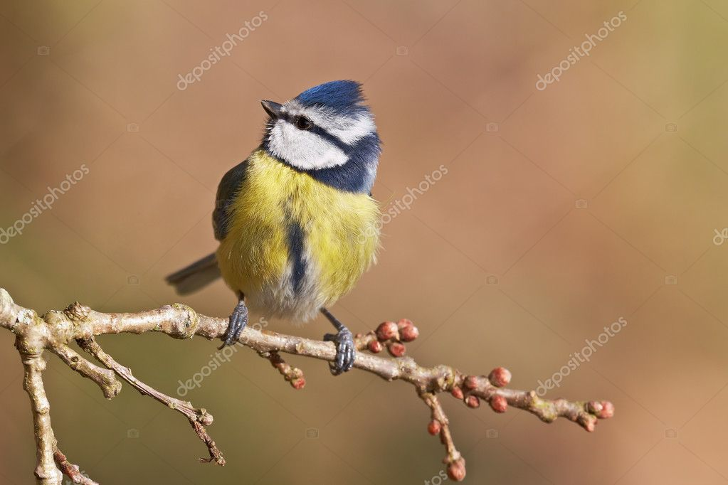 Blue tit, Parus caeruleus on a branch. Shallow depth of field and bakground blurred — Stock Photo #6345482