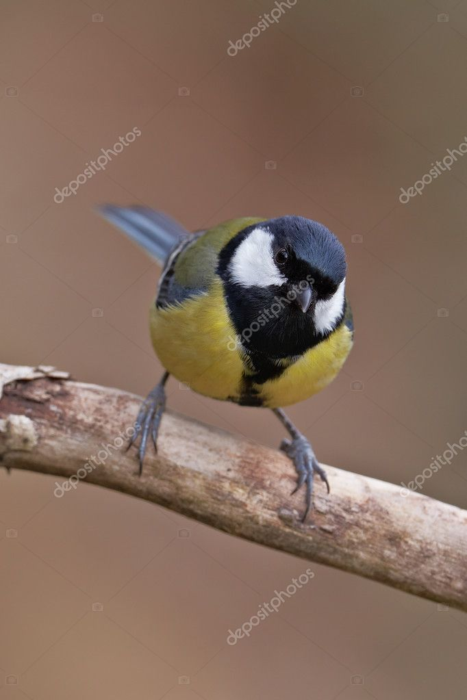 Great Tit, Parus major on a branch. Shallow depth of field and bakground blurred  Stock Photo #6345499
