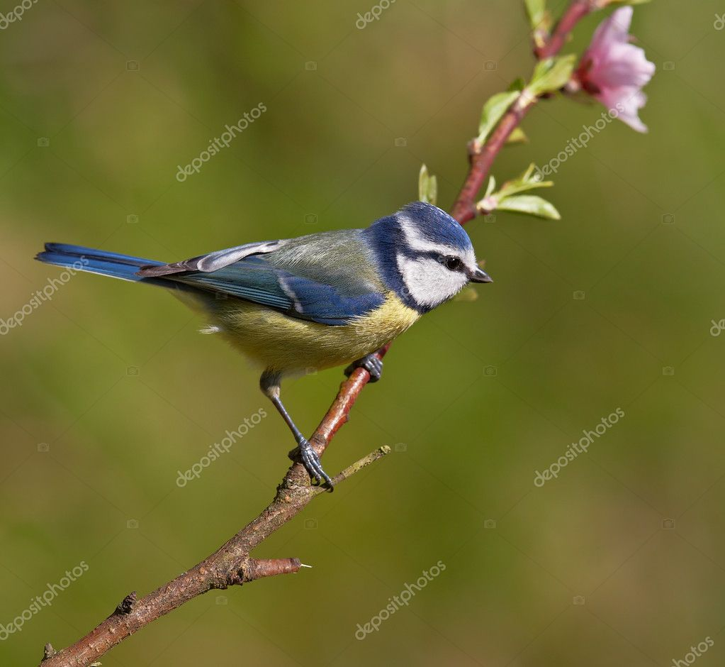 Blue tit, Parus caeruleus on a branch. Shallow depth of field and bakground blurred — Stock Photo #6345517
