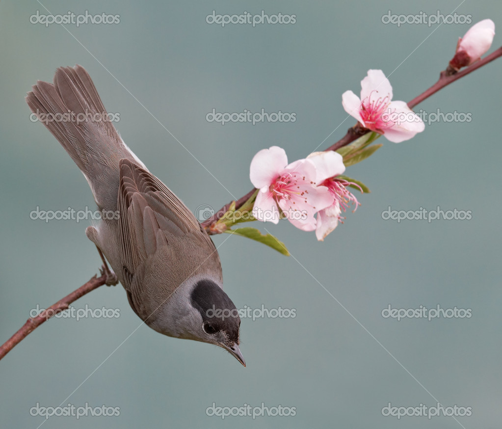 Blackcap, Sylvia atricapilla on a branch with flowers. Shallow depth of field and bakground blurred  Stock Photo #6345519