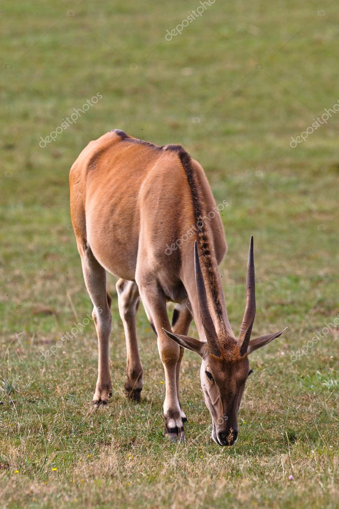 Eland (taurotragus oryx) grazing in a wild life park — Stock Photo #6345522