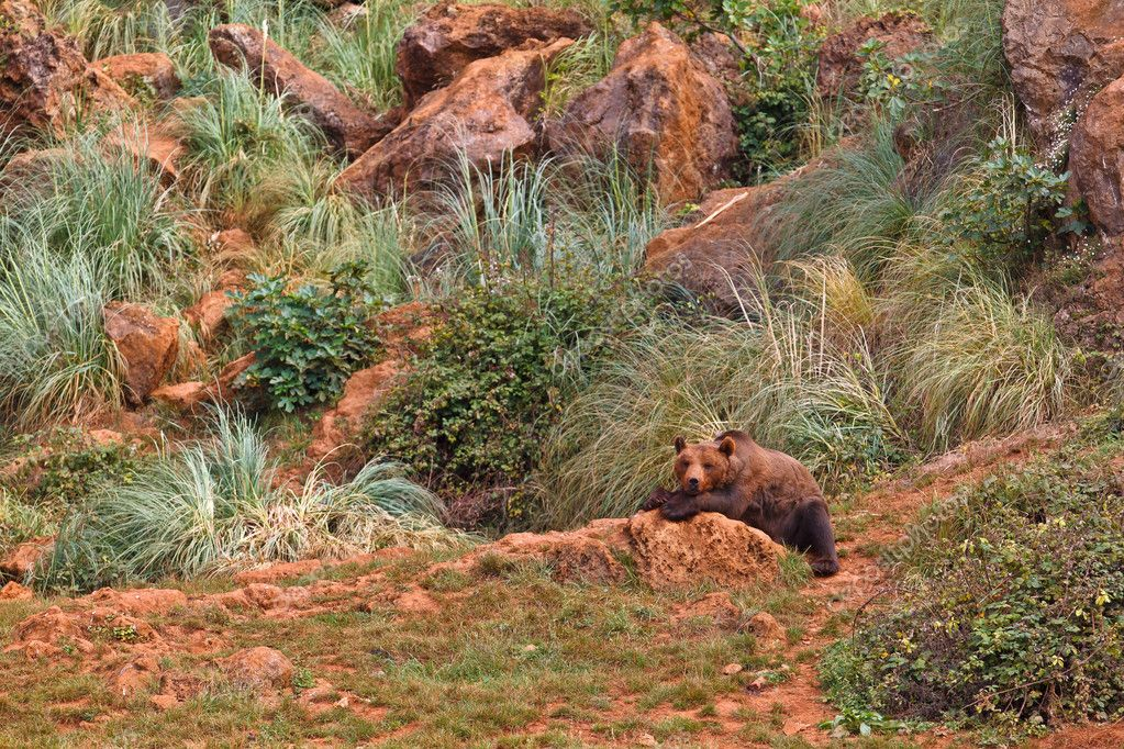 One brown bear, ursus arctos resting on the rock  Stock Photo #6345526