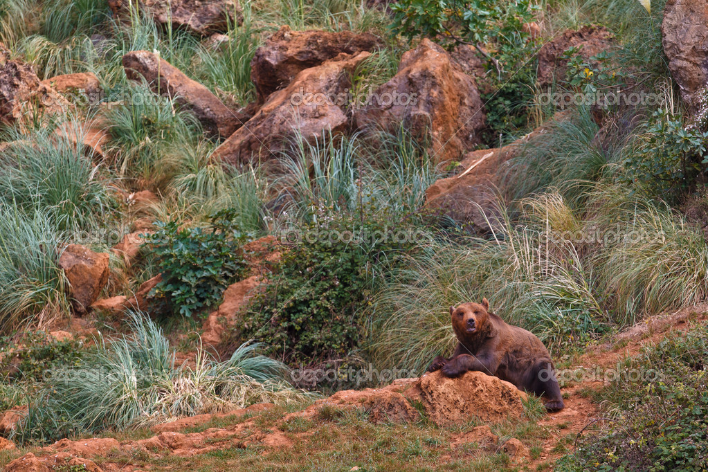 One brown bear, ursus arctos resting on the rock — Stock Photo #6345527