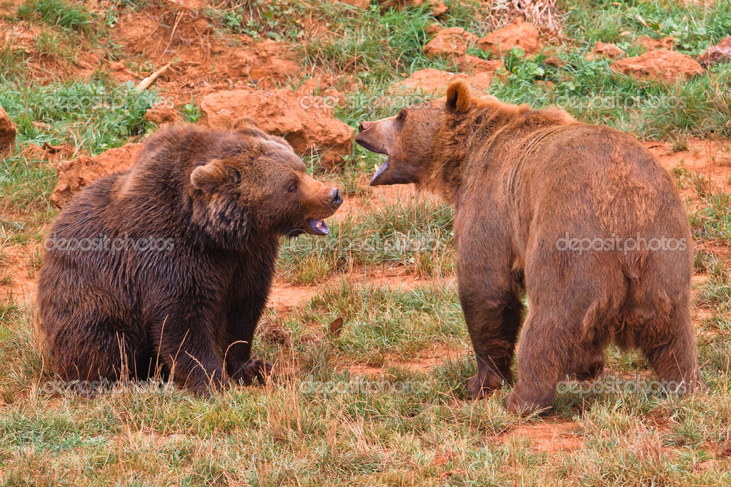 Two brown bears, ursus arctos fighting  in a wild life park — Stock Photo #6345529