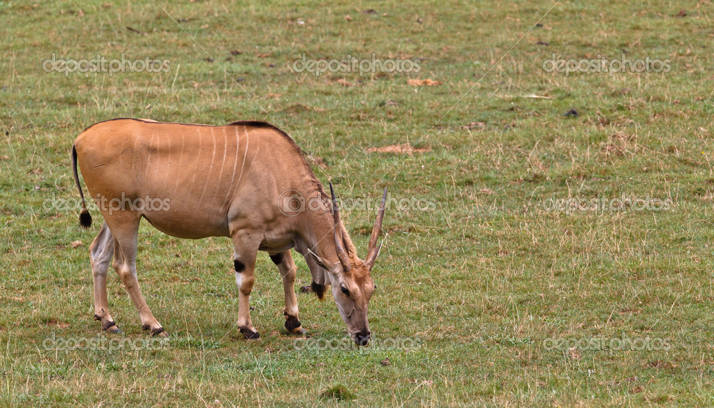 Eland (taurotragus oryx) grazing in a wild life park  Stock Photo #6345530