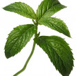 Fresh Mint - Stock Photo