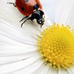 Ladybug — Stock Photo #5754781