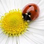 Ladybug — Stock Photo #5754782