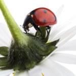 Ladybug — Stock Photo #5754786