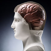 Model Brain — Stock Photo