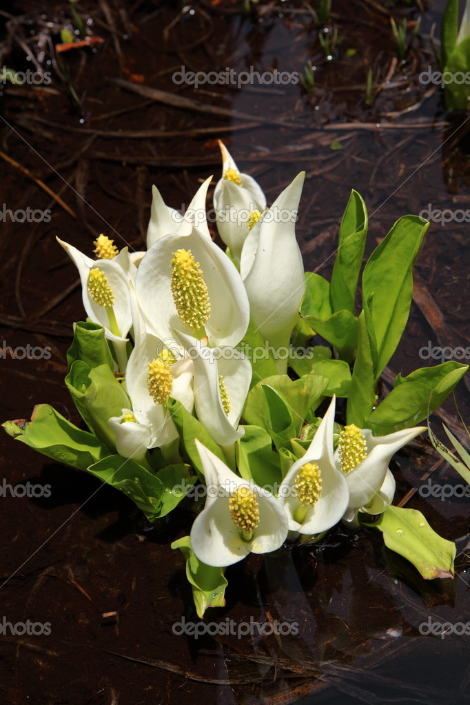 Lysichiton camtschatcense of OZE national prak in japan  Stock Photo #5777923