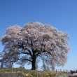 Stock Photo: Japanese cherry blossom
