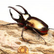 Atlas beetle — Stock Photo