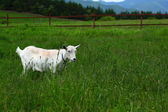 A goat on the meadow — Stock Photo