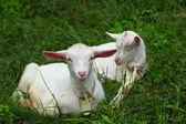 Kid goats — Stock Photo