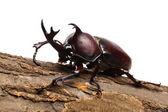 Rhinoceros beetle — Stock Photo