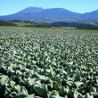 Mountain and cabbage field - Stock Photo