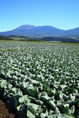 Mountain and cabbage field — Stock Photo