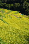Terraced rice field — 图库照片