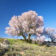 Stock Photo: Cherry tree flowering