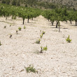 Stock Photo: Field wine plants in Spain