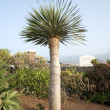 Canarian palm — Stock Photo