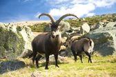 Couple of adult goas — Stock Photo