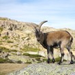 Goat on rock — Stock Photo