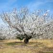 White almond tree — Stock Photo