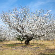 White almond tree - Stock Photo