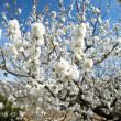 Stockfoto: White tree flowers