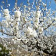 图库照片: White tree flowers