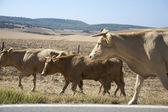 Three brown cows — Stock Photo