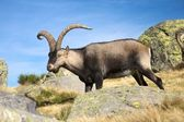 Lado espanhol cabra — Foto Stock
