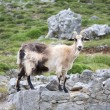 Side goat in Asturias - Stock Photo