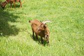 Capra mangiando nelle asturie — Foto Stock