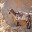 Side of goat on rock — Stock Photo