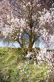 White and pink flowers tree — Stock Photo