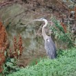 Gray Heron — Stock Photo #6092259