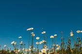 Květy sedmikrásky a modrá obloha — Stock fotografie