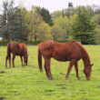 Stock Photo: Grazing horses in field.