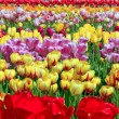 Field of tulips. — Stock Photo
