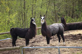 Lamas in a farm. — Stock Photo