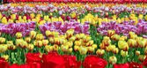 Field of tulips. — Stock Photo